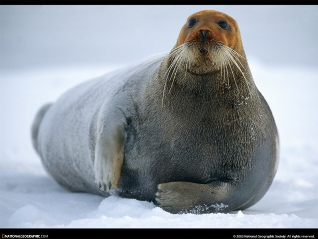bearded-seal-male-63260-sw